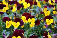 Viola tricolor Stockbild