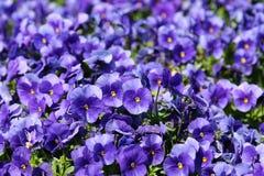 Viola tricolor Lizenzfreie Stockbilder