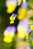 viola tricolor Zdjęcie Stock