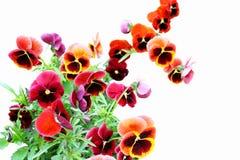 Viola tricolor Immagini Stock Libere da Diritti