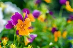Viola tricolor Imagens de Stock Royalty Free