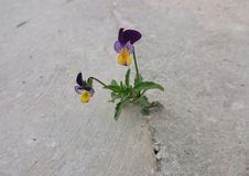Free Viola Tricolor Royalty Free Stock Photo - 70153975