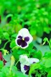 Viola tricolor Lizenzfreie Stockfotografie