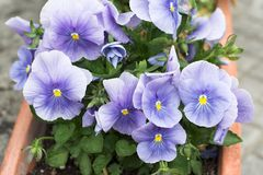 Viola tricolor. In a window box Stock Photography
