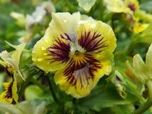 Viola tricolor fotografie stock