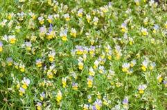 Viola tricolor background Stock Images