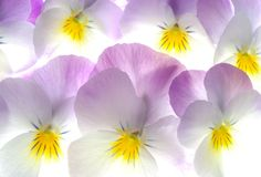viola tricolor barwna Zdjęcie Stock