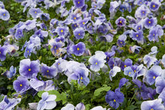 Viola tricolor Stock Photos