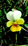 A viola tricolor blooming stock images
