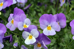 Viola tricolor cats Stock Photography