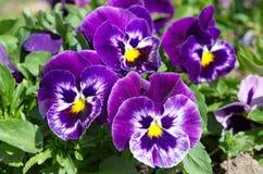 Viola tricolor closeup. Flowerbed with Viola tricolor in the garden Royalty Free Stock Photos