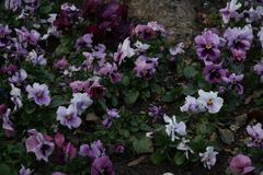 Viola Tricolor in den verschiedenen rosa Farben Stockbilder