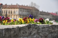 Viola tricolor. Detail of Viola tricolor on a bridge Royalty Free Stock Photography