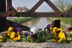 Viola tricolor. Detail of Viola tricolor on a bridge Royalty Free Stock Images