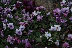 Viola Tricolor en diversos colores rosados Imagenes de archivo