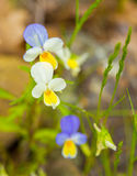 Viola tricolor flower. A Viola tricolor flower with three different colors in it`s petals at the Eastern Rhodope Mountaisn in southern Bulgaria Stock Images