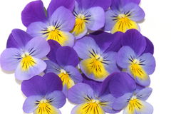 Viola tricolor Stock Image