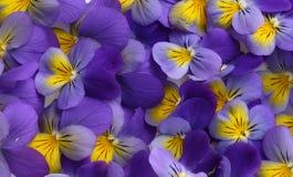 Viola tricolor Stock Photos