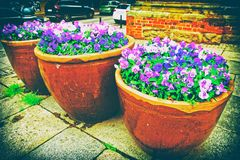 Viola tricolor flowers in the flowerbeds in the street of Wroclaw, Poland.  royalty free stock photo