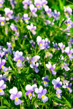 Viola tricolor flowers in sunlight in garden. Viola flowers in garden with sunlight in summer Royalty Free Stock Image