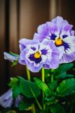 Viola tricolor in the garden Stock Images