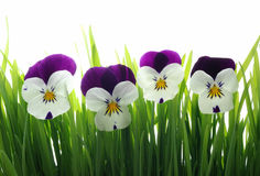 Viola tricolor in green grass Royalty Free Stock Photography
