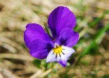 viola tricolor heartsease Στοκ φωτογραφίες με δικαίωμα ελεύθερης χρήσης