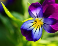 Viola tricolor. (heartsease) flower close-up Royalty Free Stock Photos