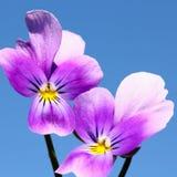 Viola tricolor. Heartsease flowers close-up Stock Image