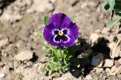 Viola tricolor or Heartsease or Hearts delight flower. Viola tricolor or Heartsease or Hearts delight or Tickle-my-fancy or Love-in-idleness purple, white Stock Images
