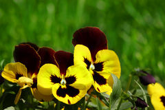 Viola tricolor hortensis Royalty Free Stock Images