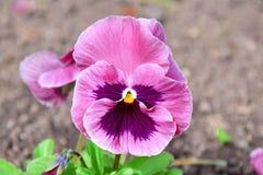 Viola Tricolor Hortensis Flowers Homa Gardening Plants Stock Photo royalty free stock image