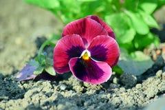 Viola Tricolor Hortensis Flowers Homa Gardening Plants Stock Photo stock photo
