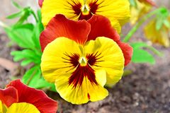 Viola Tricolor Hortensis Flowers Home Gardening Plants Stock Photo. Viola Tricolor Hortensis Flowers Home Gardening and Planting Plants Closeup Stock Photo royalty free stock images