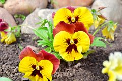 Viola Tricolor Hortensis Flowers Home Gardening Plants Stock Photo. Viola Tricolor Hortensis Flowers Home Gardening and Planting Plants Stock Photo royalty free stock photography