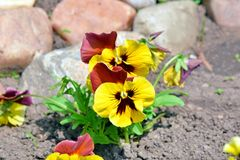 Viola Tricolor Hortensis Flowers Home Gardening Plants Stock Photo. Viola Tricolor Hortensis Flowers Home Gardening and Planting Plants Closeup Stock Photo stock image