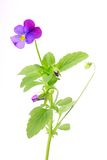 Viola tricolor isolated on a white Royalty Free Stock Image