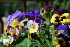 Viola tricolor Royalty Free Stock Photo