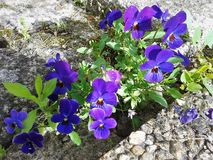Viola tricolor. Viola tricolor, beautiful blue flowers in the garden Royalty Free Stock Photos