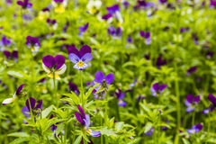 Viola tricolor (Johnny Jump up). Stock Photo