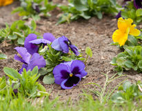 Viola tricolor or kiss-me-quick heart ease flowers. In the spring botanical garden in Kyiv royalty free stock photography
