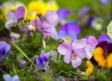 Viola tricolor or kiss-me-quick heart ease flowers. In te botanical garden in Kyiv stock photography