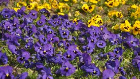 Viola tricolor. Macro detail of Viola tricolor Royalty Free Stock Photography