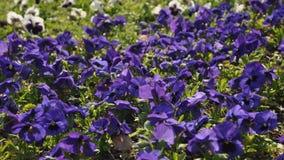 Viola tricolor. Macro detail of Viola tricolor Stock Images