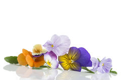 Viola tricolor nice pansies, symbolizing the arrival of spring Royalty Free Stock Image