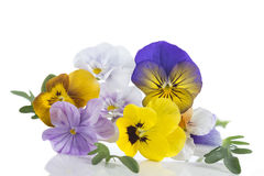 Viola tricolor nice pansies, symbolizing the arrival of spring Royalty Free Stock Photo