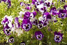 Viola tricolor (Pansies) Royalty Free Stock Photography