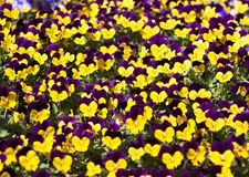 Viola tricolor pansy Stock Photos