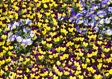 Viola tricolor pansy Royalty Free Stock Photo