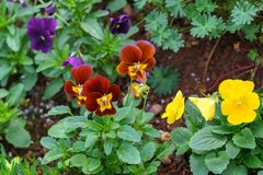 Viola tricolor pansy, flowerbed in home garden stock photography